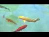 Melk - zlatá rybka ve zdejší kašně