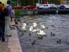 Krmení vodního ptactva